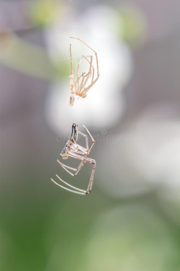 Vertentes do close-up da aranha descascadas na Web como um estrangeiro fotos de stock