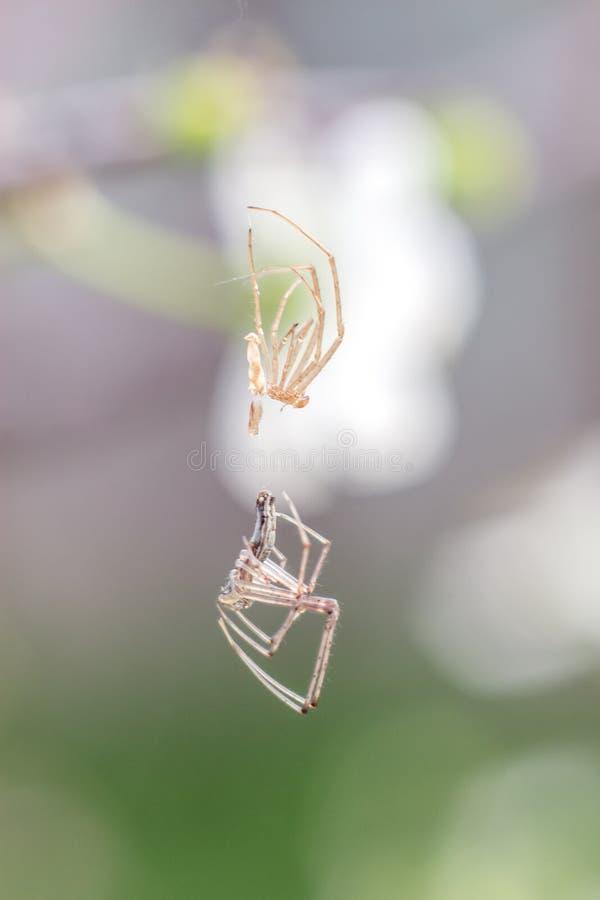 Vertentes do close-up da aranha descascadas na Web como um estrangeiro imagem de stock