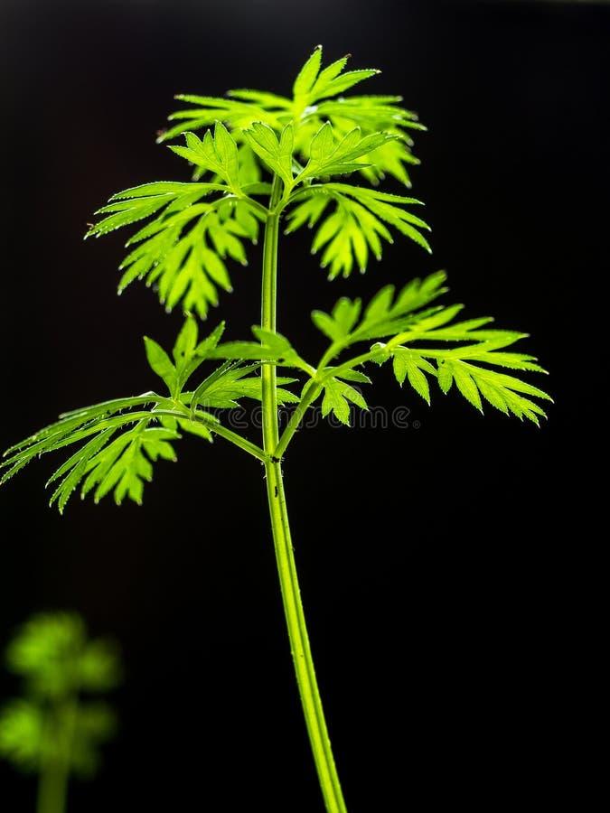 Verticaal beeld Een het groeien blad van verse wortelen met groene bladeren en vuil op een donkere achtergrond Daglicht stock fotografie
