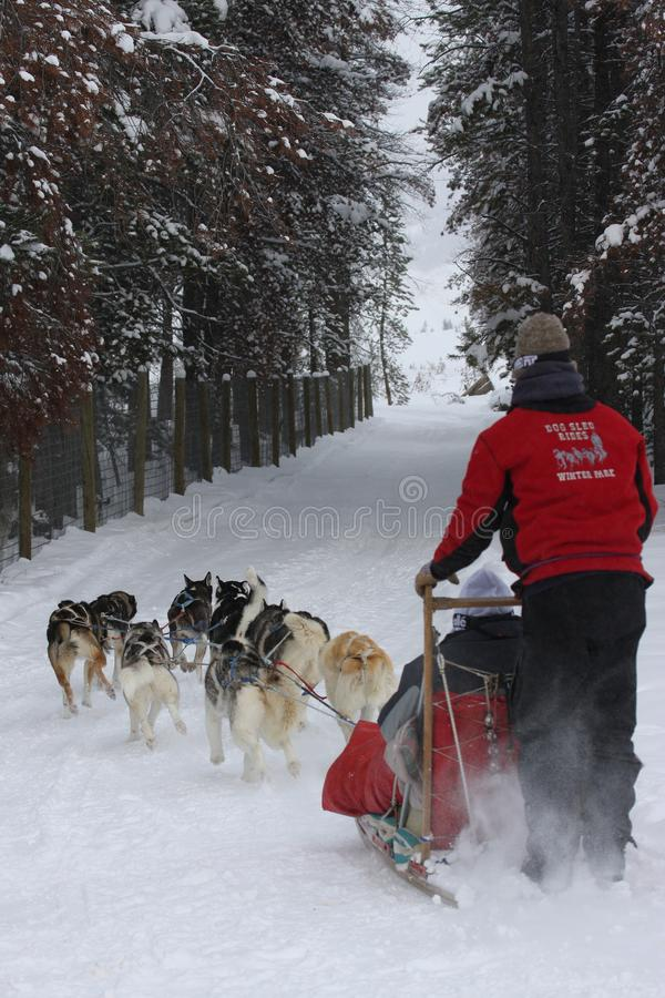 Verticaal de winter dogsledding beeld in de Winterpark, Colorado stock fotografie