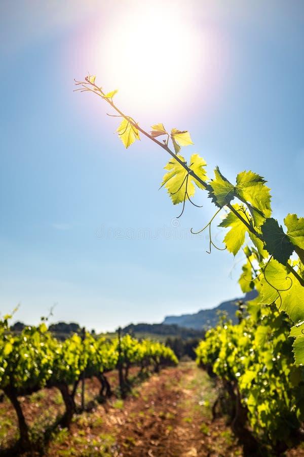 Verticaal schot van wijnstokbladeren in wijngaard royalty-vrije stock afbeeldingen