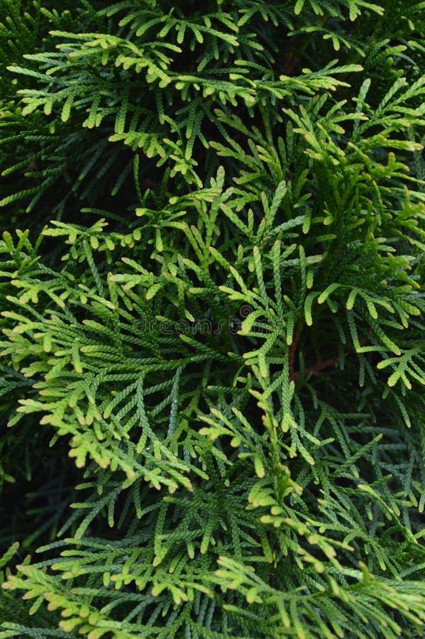 Verticaal van Arborvitae de dichte omhooggaande bladeren stock afbeeldingen