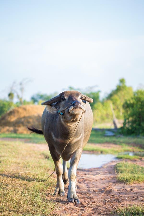 Verticaal van close-up Thaise buffels in platteland royalty-vrije stock foto