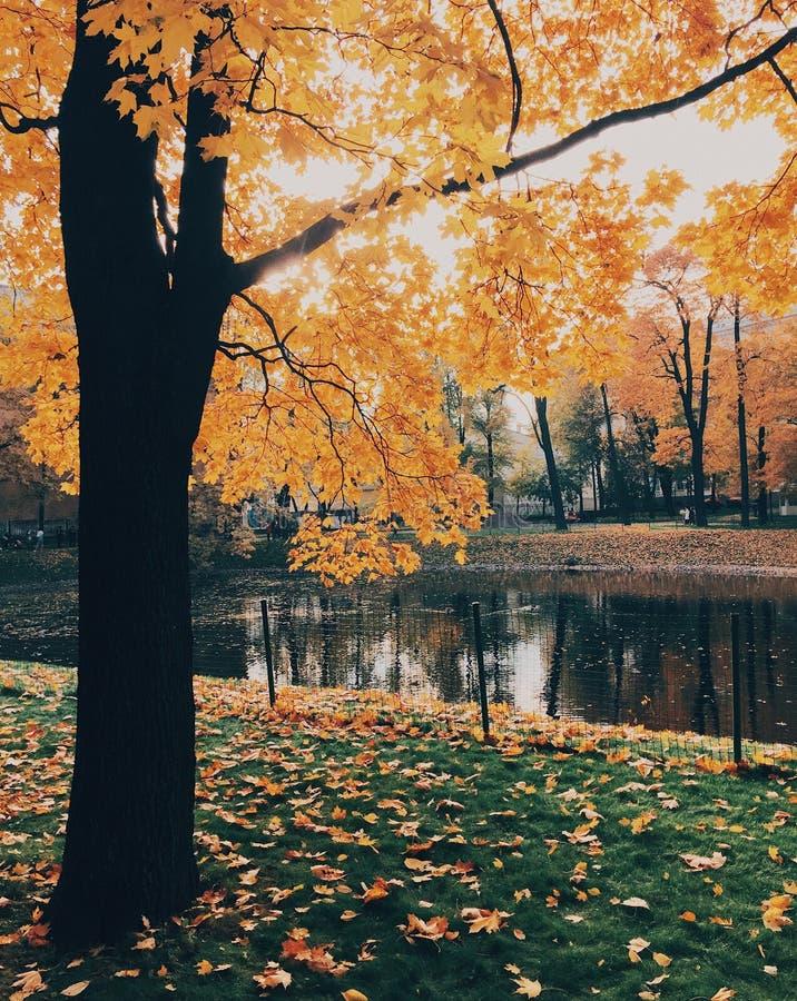 Verticaal van mooi de herfstlandschap wordt van gele boom, groen die gras met gevallen bladeren, rustige rivier, mooie zonnen wor royalty-vrije stock foto's