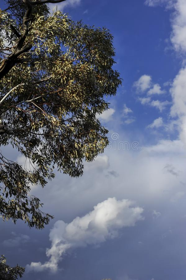 Vertical aspect of gum tree on left top side, background of stormy clouds of blue and gray. Tree and leaves to left of composition, with thunderstorm clouds at royalty free stock photo