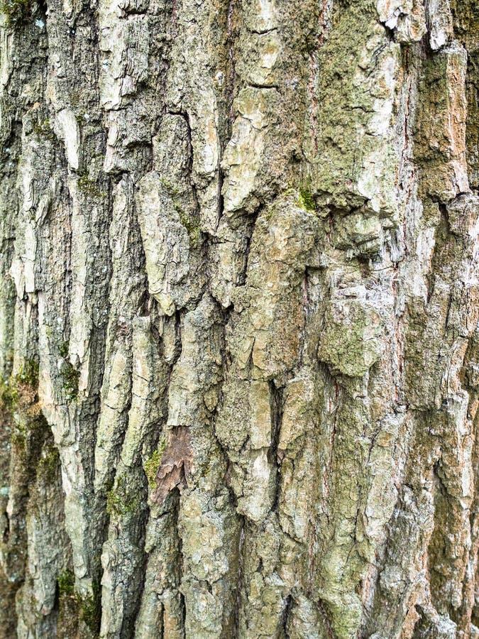 Vertical background - bark of mature oak tree. Vertical natural background - bark of mature oak tree (quercus robur, common oak) close-up royalty free stock photos