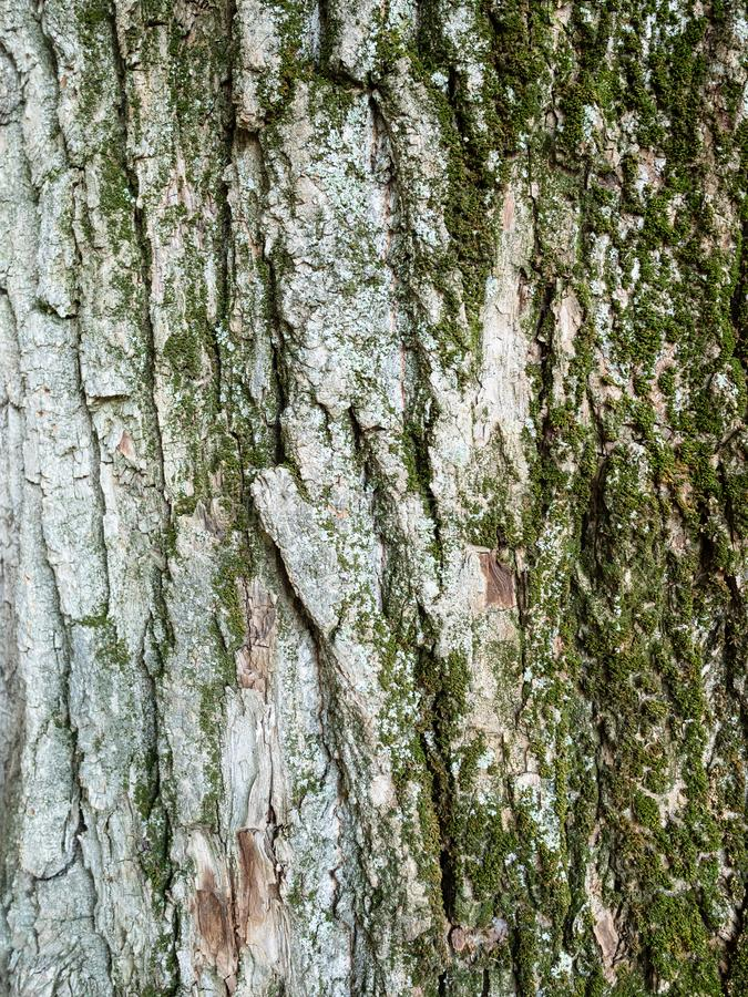 vertical background - bark of old poplar tree stock photo
