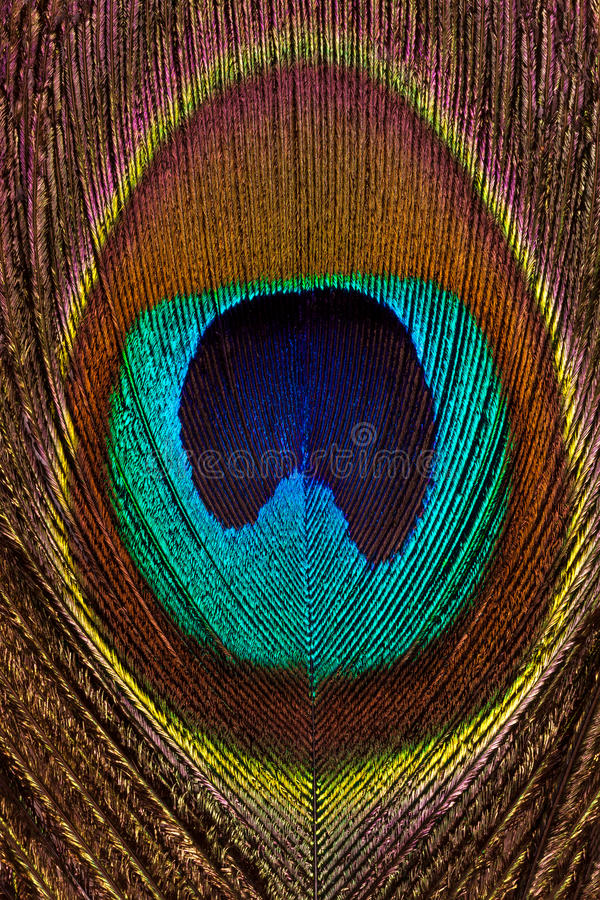 Vertical background of peacock bright and colorful feathers close-up. royalty free stock image