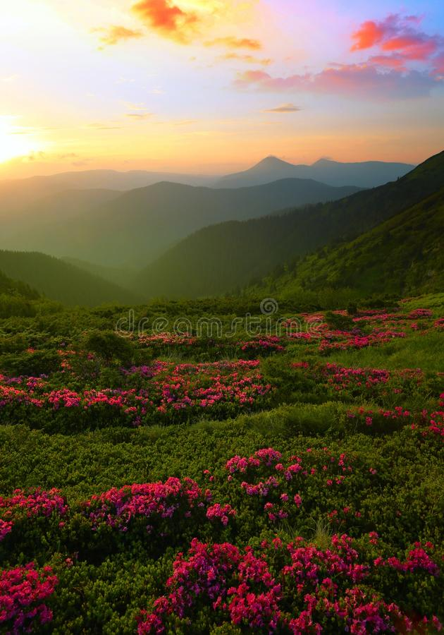Vertical blooming nature summer image, attractive mountains sunrise view on meadow in mountains ped pink flowers on background gre royalty free stock photo