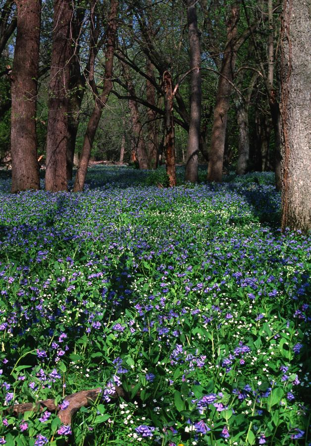 Vertical Blue Bell Bottom with wood anemones in full spring bloom. A vertical shot of a `Blue Bell bottom`.  Virginia Blue Bells and wood anemones in full bloom stock images