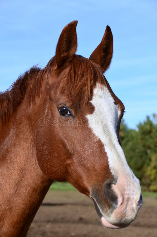 A vertical close up head shot of Arabian horse. A vertical head shot of chestnut Arabian gelding with blaze and snip facial markings royalty free stock photography