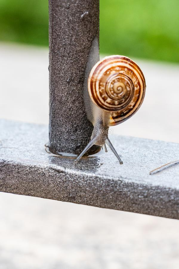 Vertical close up view of a cute garden snail, slowly coming out of its shell. Lovely, brown, fibonacci, spiral, helix pattern. stock image