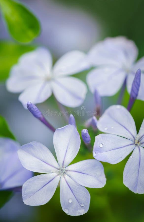 Periwinkle flower closeup stock photos