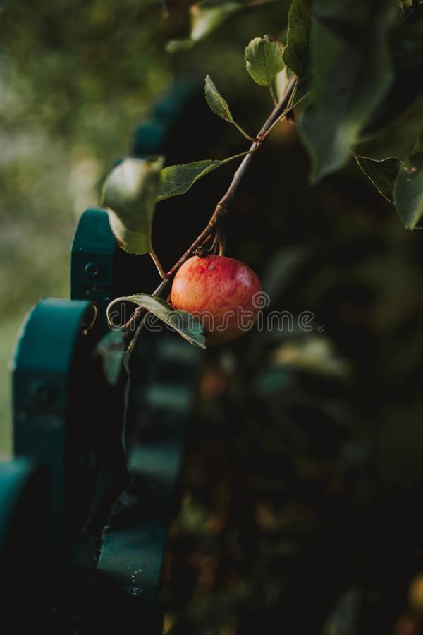 Vertical closeup shot of an apple on  a branch with blurred natural background. A vertical closeup shot of an apple on  a branch with blurred natural background royalty free stock photography