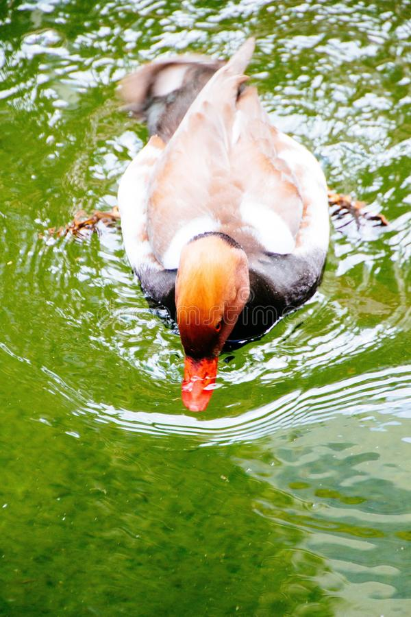 Vertical closeup shot of a brown and orange duck on the body of water. A vertical closeup shot of a brown and orange duck on the body of water royalty free stock photography