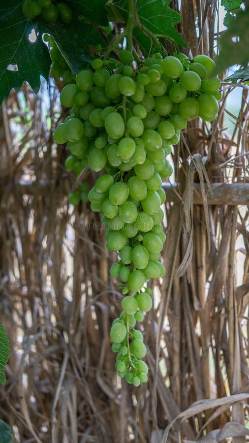 Vertical closeup shot of a bunch of green grapes hanging from a vine. A vertical closeup shot of a bunch of green grapes hanging from a vine stock photos