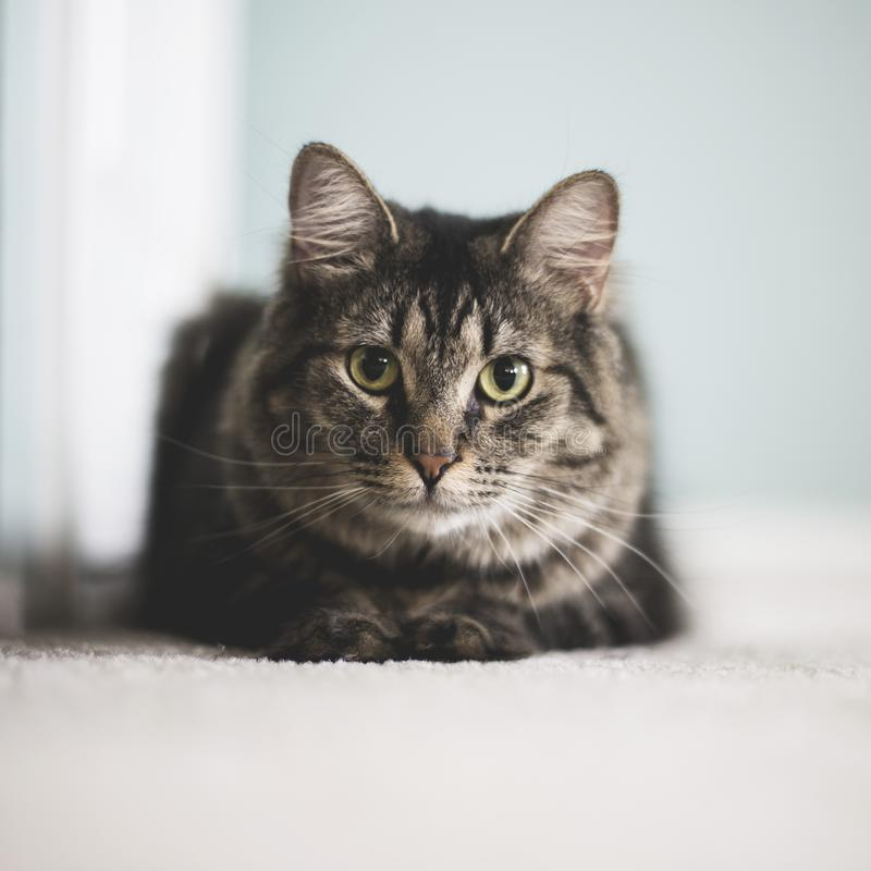 Vertical closeup shot of a furry tabby cat staring straight. A vertical closeup shot of a furry tabby cat staring straight royalty free stock image