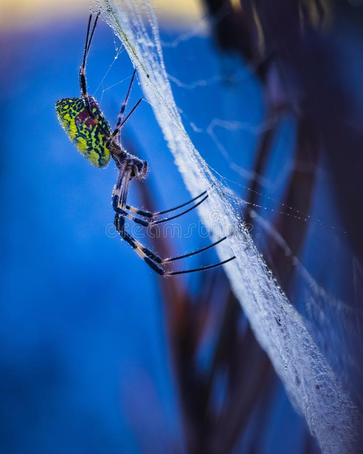 Vertical closeup shot of A golden silk orb-weaving spider with early morning dew, in South Korea stock image