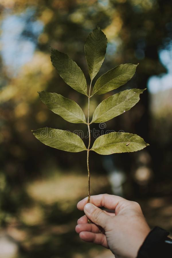 Vertical closeup shot of a male holding a branch with blurred natural background. A vertical closeup shot of a male holding a branch with blurred natural stock image
