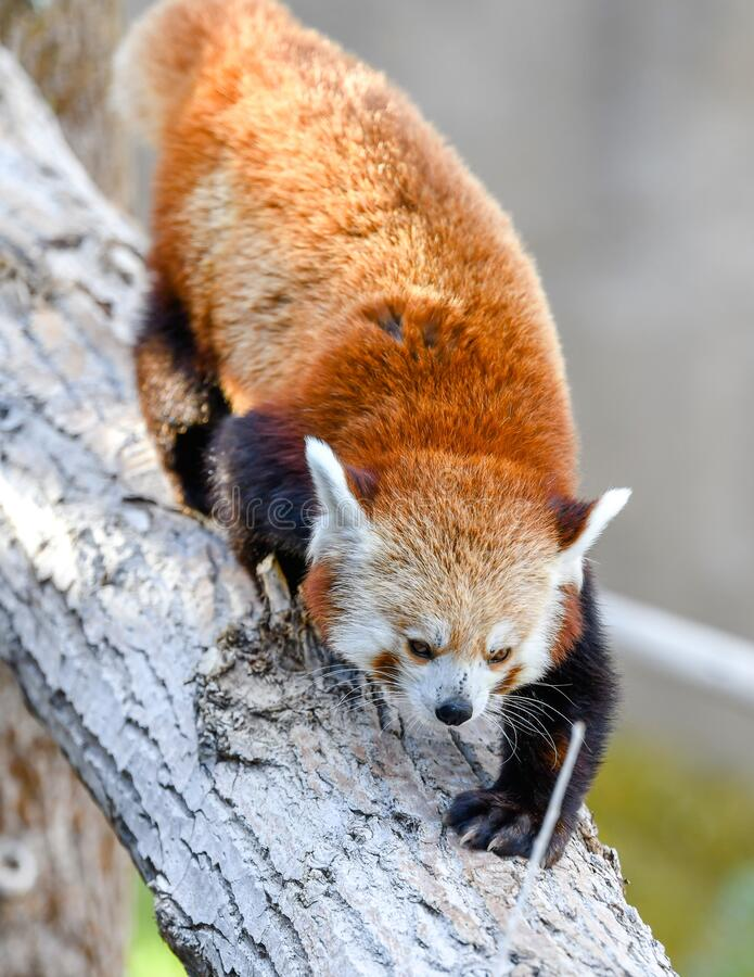 Vertical closeup shot of a rare species of red panda climbing down a tree. A vertical closeup shot of a rare species of red panda climbing down a tree stock image