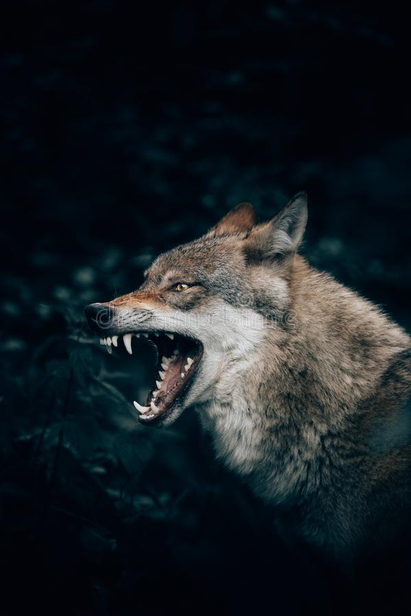 Vertical closeup shot of a wild wolf growling or roaring in Teutoburg Forest, Germany stock images