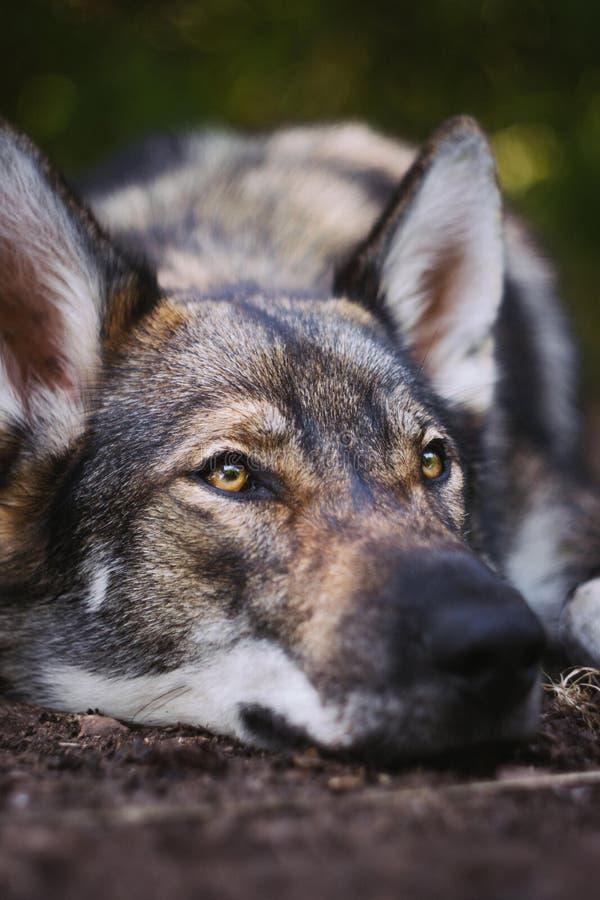 Vertical closeup shot of a Yamnuska wolfdog lying down on the ground. A vertical closeup shot of a Yamnuska wolfdog lying down on the ground stock images