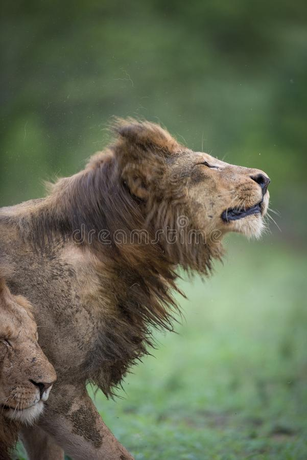A wet lion shaking his mane royalty free stock images