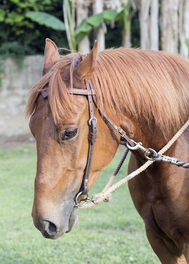 Vertical composition mare horse portrait with bit and bridle royalty free stock images
