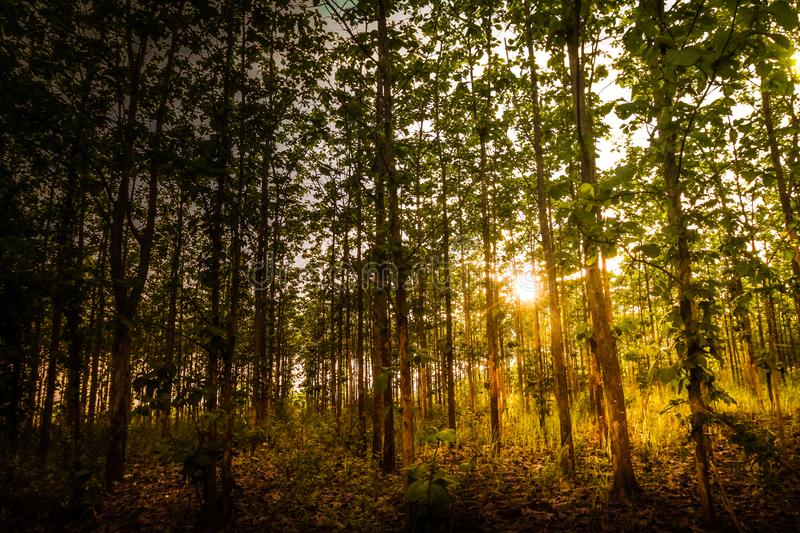 Vertical concept in nature, mysterious forest with plenty of trees with amazing light during sunset stock images