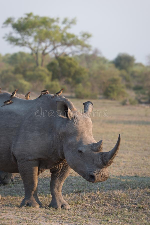 A white rhino with oxpecker passengers. A vertical, cropped, colour photograph of a white rhino, Ceratotherium, standing in side light in an open grassy royalty free stock photography