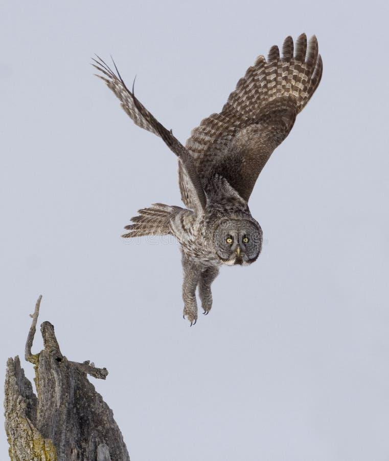 Vertical de grande Gray Owl, nebulosa do Strix, liftoff foto de stock