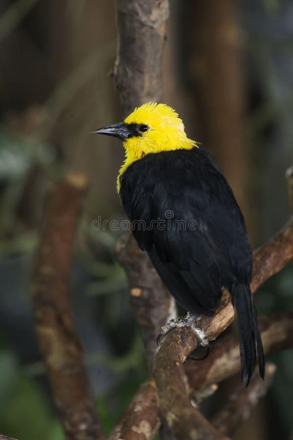 Vertical do melro Amarelo-encapuçado, icterocephalus de Chrysomus imagens de stock