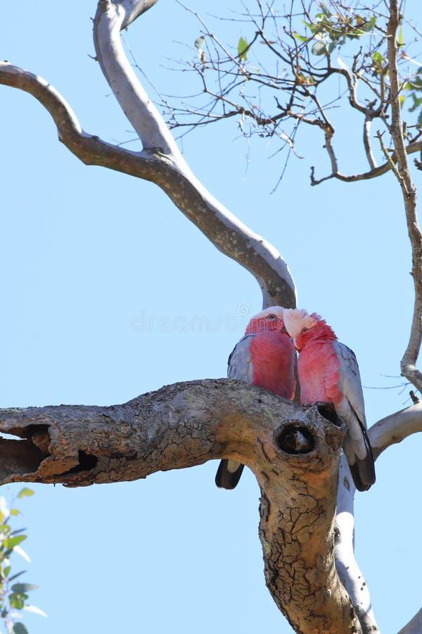 Vertical dos pares de Galah, roseicapilla de Eolophus, empoleirado foto de stock royalty free