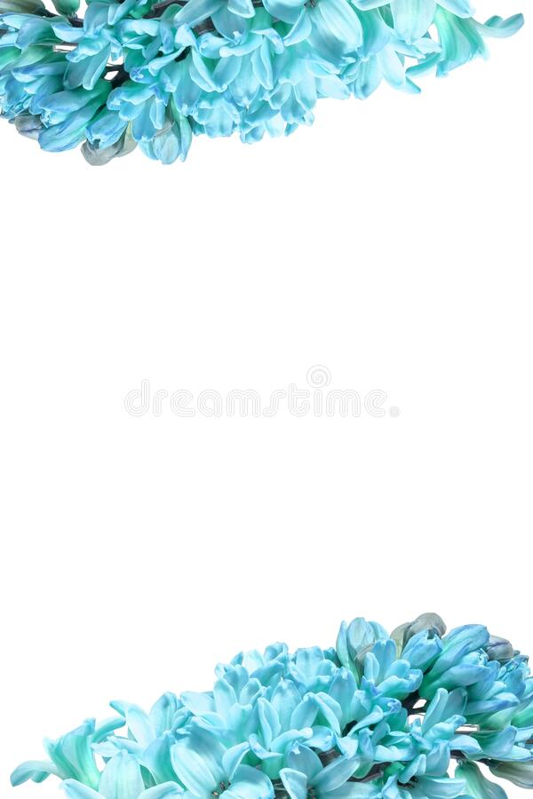 Vertical frame of blue hyacinth flowers with an isolated white background in the center for text, lettering. Large size photo stock images