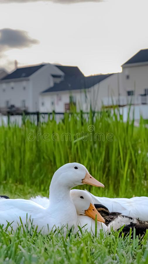 Vertical frame Close up of white ducks and brown ducklings on grassy terrain near a pond. Multi-storey homes with balconies and fences against cloudy sky can stock images