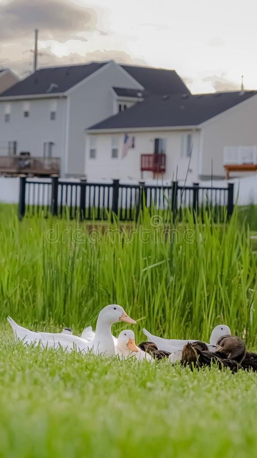 Vertical frame White and brown ducks on a lush grassy terrain beside a pond with bridge. Multi-storey homes and cloudy sky can be seen in the background royalty free stock photo