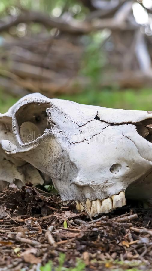 Vertical frame White skull of a dead animal in the forest with trees in the blurry background. View in the wilderness with the teeth still attached to the bone stock photo