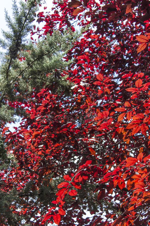 Vertical front clean shot of colorful red flowers tree. At summertime with blue background royalty free stock image
