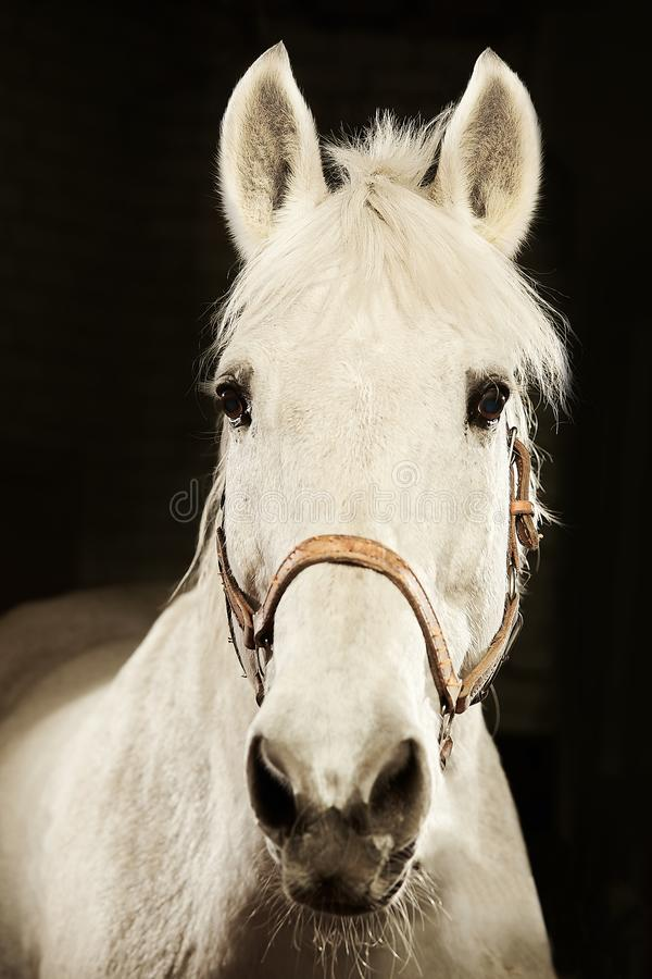 Vertical frontal portrait of white horse on black isolated background. royalty free stock photography