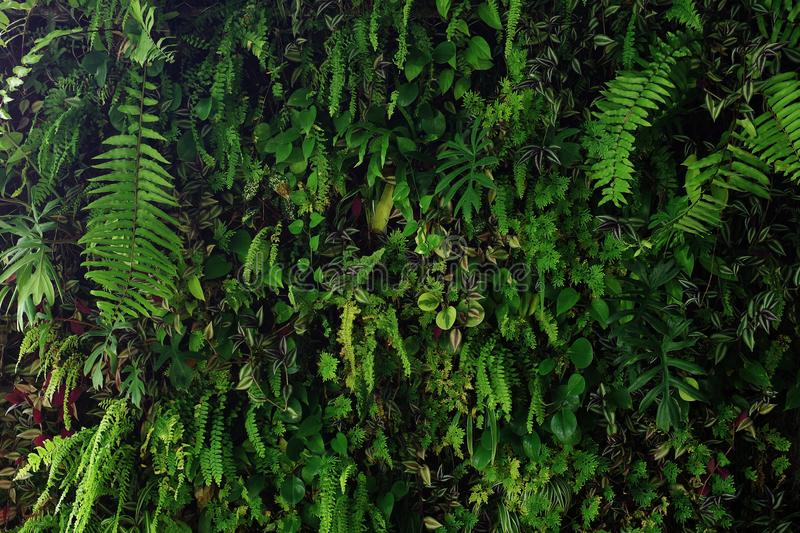 Vertical garden nature backdrop, living green wall of devil`s ivy, ferns, philodendron, peperomia, inch plant and different royalty free stock images