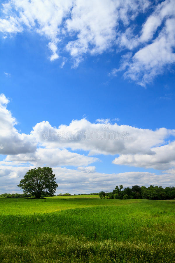 Vertical Grassland Field. A lone tree separate from the other trees in a lush grassland field stock image