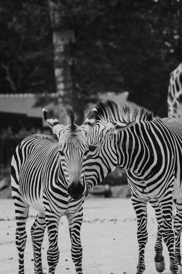 Vertical greyscale shot of two beautiful zebras in Safari. A vertical greyscale shot of two beautiful zebras in Safari royalty free stock photos