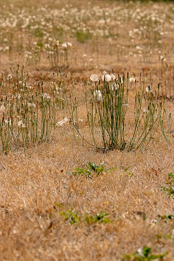 vertical group of dandelion stems in golden field royalty free stock photography