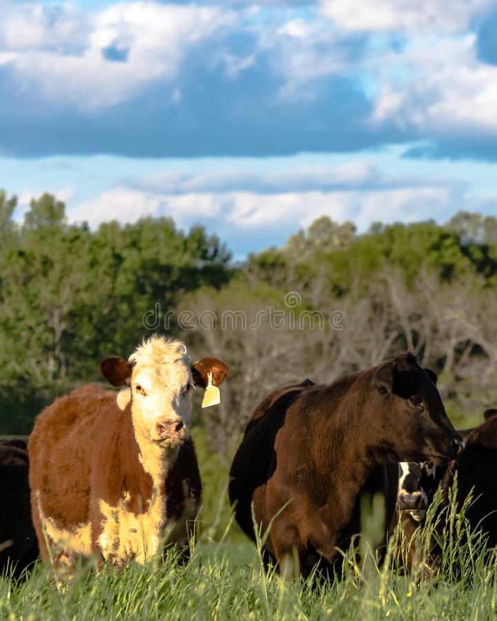 Vertical - heifers in rye grass. Commercial crossbred heifers in tall rye grass in vertical format royalty free stock photo
