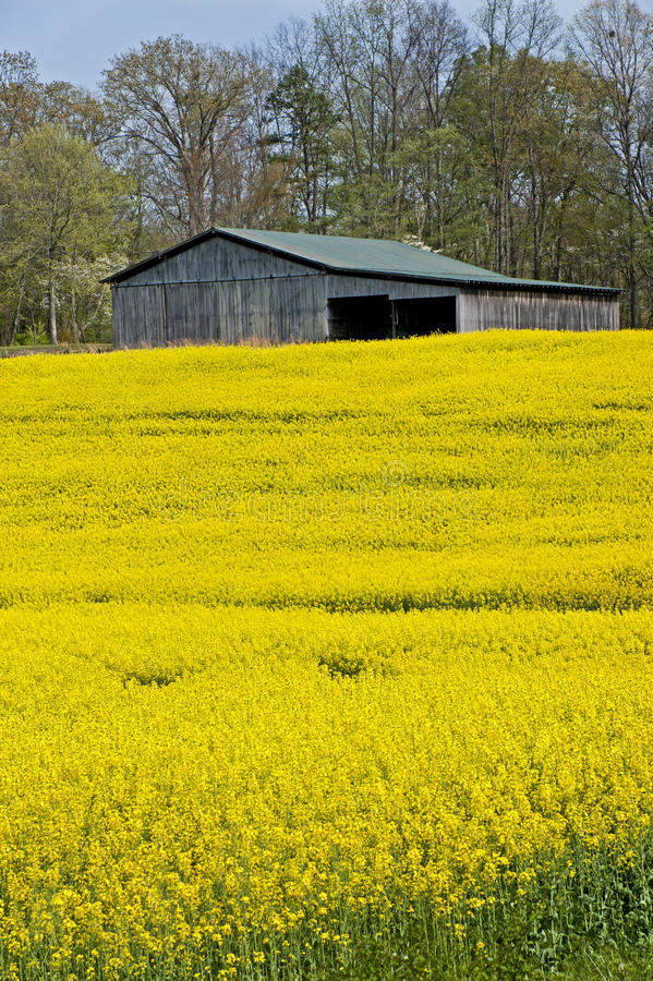 Vertical Image of Barn and Yellow Wildflowers royalty free stock photography