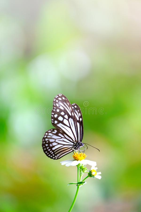 Vertical image of Close up beautiful Common Glassy Tiger butterfly sucking nectar royalty free stock photos