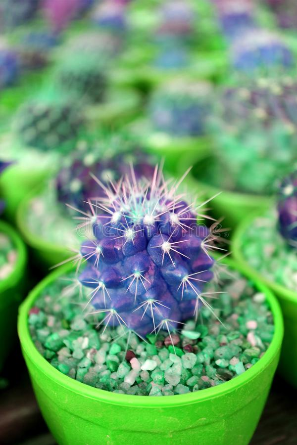 Vertical image of Closeup mini potted cactus plants in vivid green and violet color. Texture background stock image