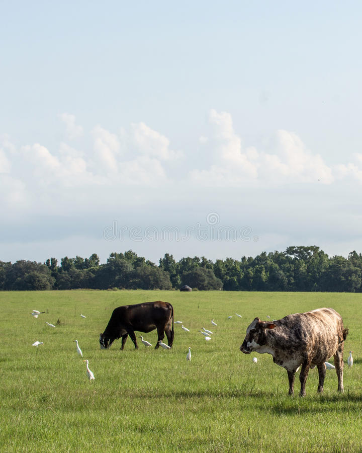 Vertical image of crossbred cows in a Florida pasture. Vertical image of two Brahman-cross cows in a southern pasture with birds royalty free stock photos