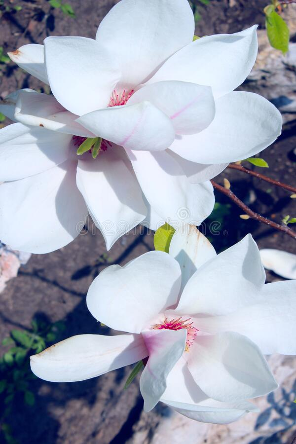 Free Vertical Image Of Magnolia Flowers. Abstract Nature Background. Spring, Nature Concept. Royalty Free Stock Photography - 172186897