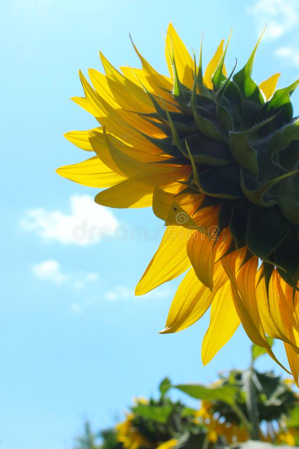 Free Vertical Image Of Sunflower Over Blue Sky Background. Abstract Colorful Nature Background. Stock Photography - 165452262
